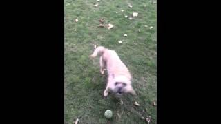 Barking Mad Border Terrier