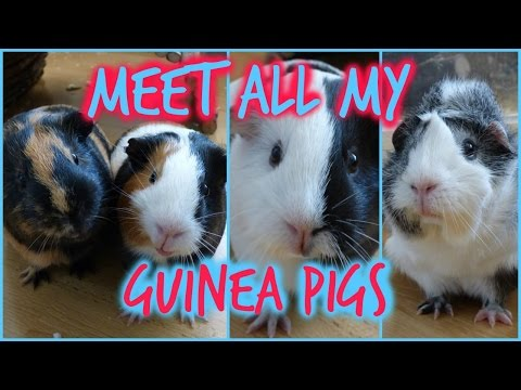Meet All Of My Guinea Pigs