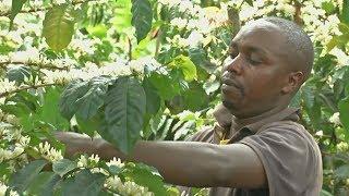 Кенийским фермерам помогают снова заняться выращиванием кофе