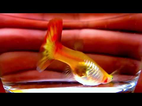 How Long Is A Guppy Fish Pregnant