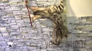 Бенгальские котята - скалолазы
