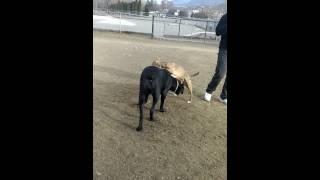 Dog Park Playing 2.  Great Dane X Cane Corso Mix