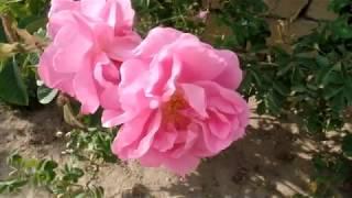 Gulab cekilmesi.Gulabin hazirlanmasi.Как приготовить розовою воду Гюлаб.Gulabin esl hazirlanma qayda