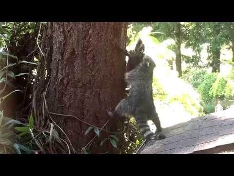 Raccoon Mom Teaches Her Baby How To Climb