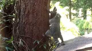 Mother Raccoon Teaches Kit How To Climb A Tree