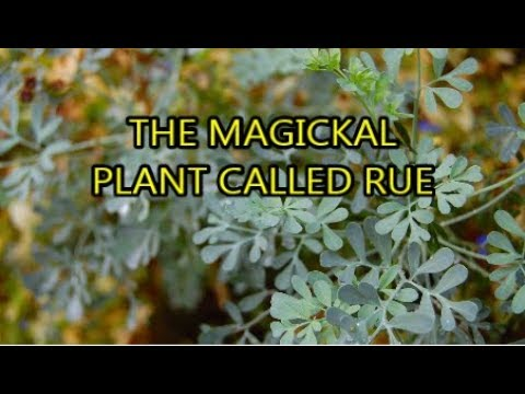 What is Rue? I The Spiritual properties of( plants, oil and water) Rue