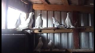 Среднеазиатские двухчубые бойные игровые голуби(, 2015-04-24T16:11:57.000Z)