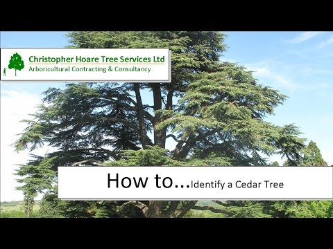 How to identify a Cedar Tree
