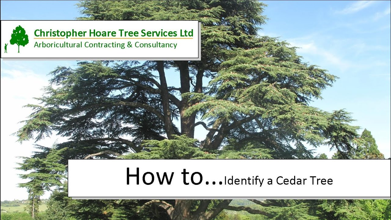 Pictures of cedar trees - How To Identify A Cedar Tree