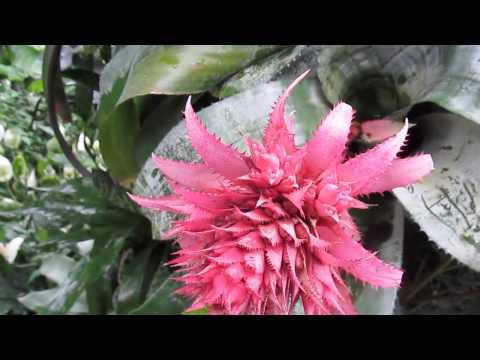 Bromeliads: Aechmea fasciata