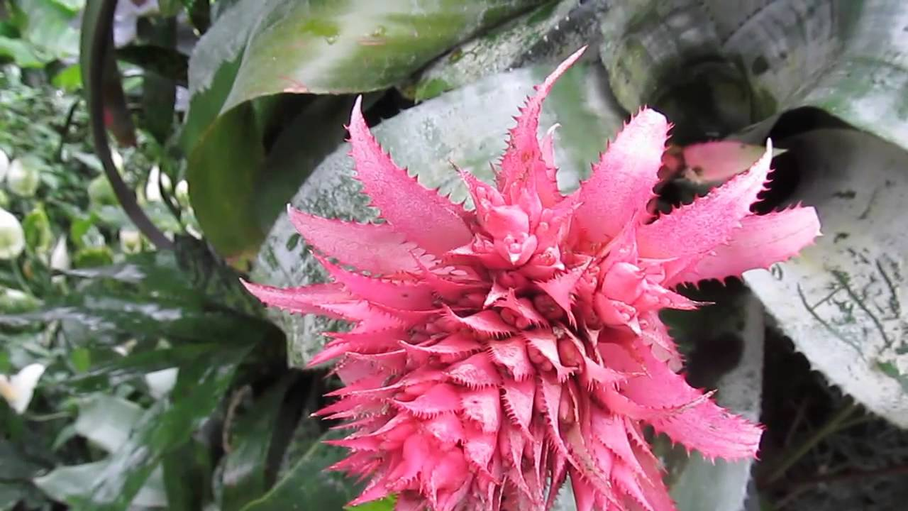 Bromeliads aechmea fasciata youtube for Aechmea fasciata
