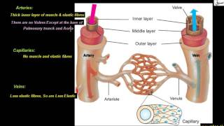 Comparison of Arteries, Capillaries and Veins