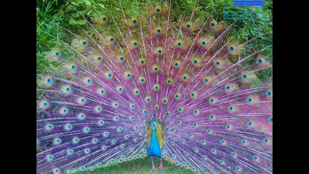 Hundreds of Peacocks     Color EXPLOSION    beautiful