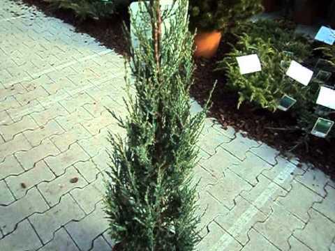 juniperus scopulorum blue arrow youtube. Black Bedroom Furniture Sets. Home Design Ideas