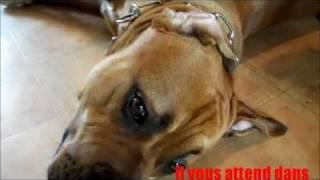 Dogue De Majorque 17 Mois.wmv