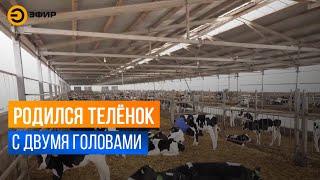 В Татарстане родился телёнок с раздвоенной головой
