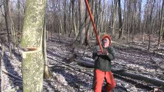 How to make a perfect hinge when hinge cutting trees for deer habitat