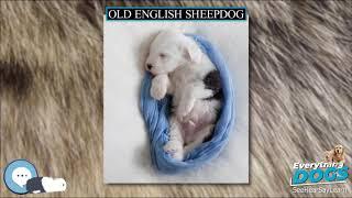 Old English Sheepdog  Everything Dog Breeds