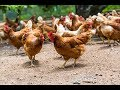 طريقة تربية الدجاج في المنزل و كيف تربي الدجاج في بيتك