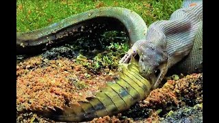 This Is What Happened When a Snake Devoured a Crocodile Whole