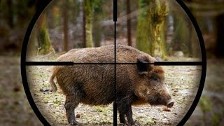 Excellent hunting for wild boar. a selection videos of real hunt. the best