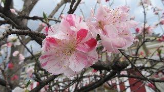 2019年 京都の春 川端通りと鴨川縁の桜