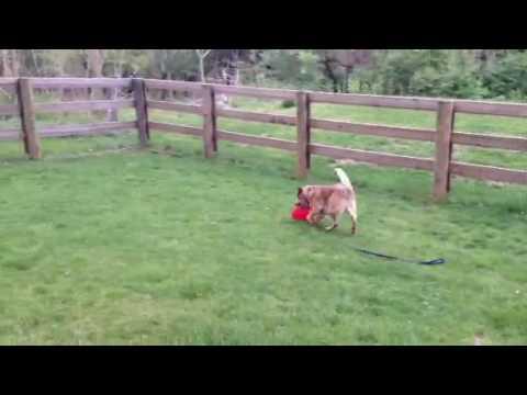 Video of adoptable pet named Wrangler