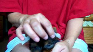 Taping Yorkie Puppy Ears 1