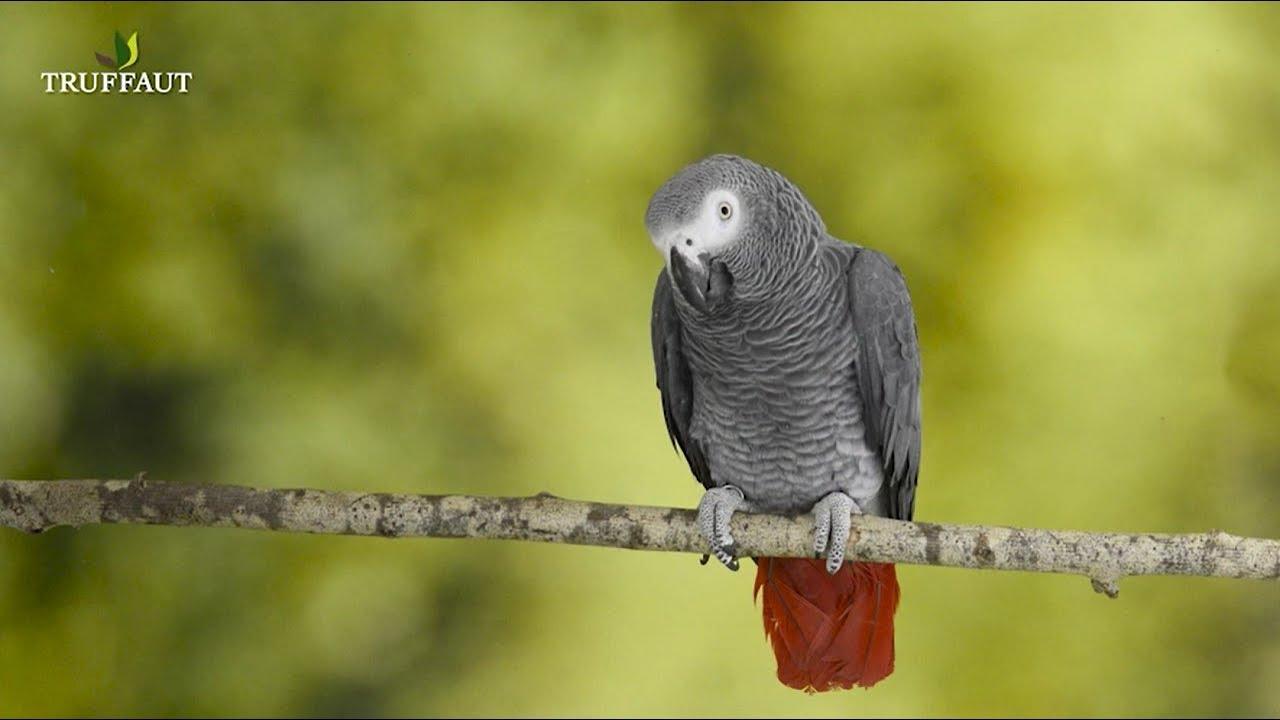 Oiseaux Exotiques Le Perroquet Gris Du Gabon Jardinerie Truffaut Tv Youtube