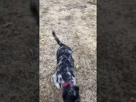 North American Mastiff Breeding Dogs