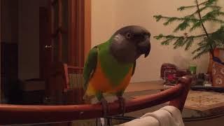 Сенегальский попугай/8/Кузя показывает крылышки