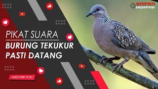 Download lagu PASTI DATANG SUARA BURUNG TEKUKUR UNTUK PIKAT MP3
