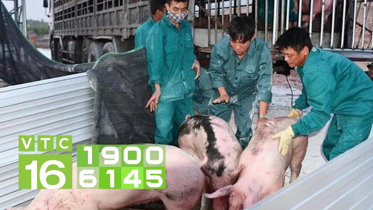 500 con lợn sống Thái Lan về đến Nghệ An kiểm dịch | VTC16
