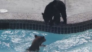 RAW: Bear cubs frolic in West Vancouver pool