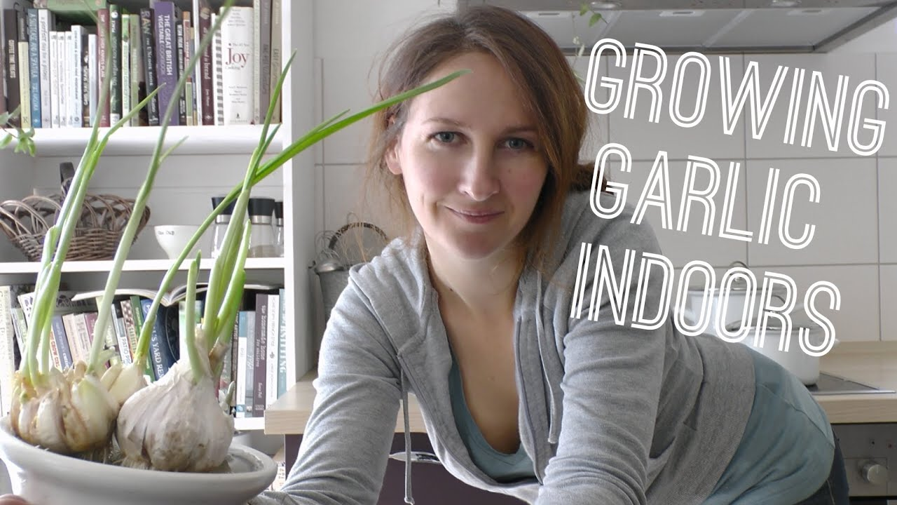 guide to growing garlic indoors in pots or containers youtube. Black Bedroom Furniture Sets. Home Design Ideas