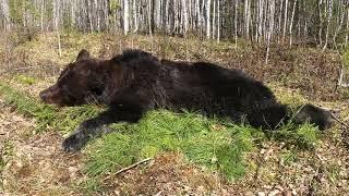 Фильм 7. Охота на медведя с лайками. Удачные охоты и таёжный быт.