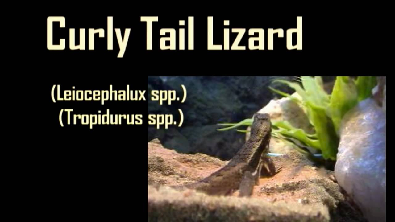 videos of how to take care of a lizard