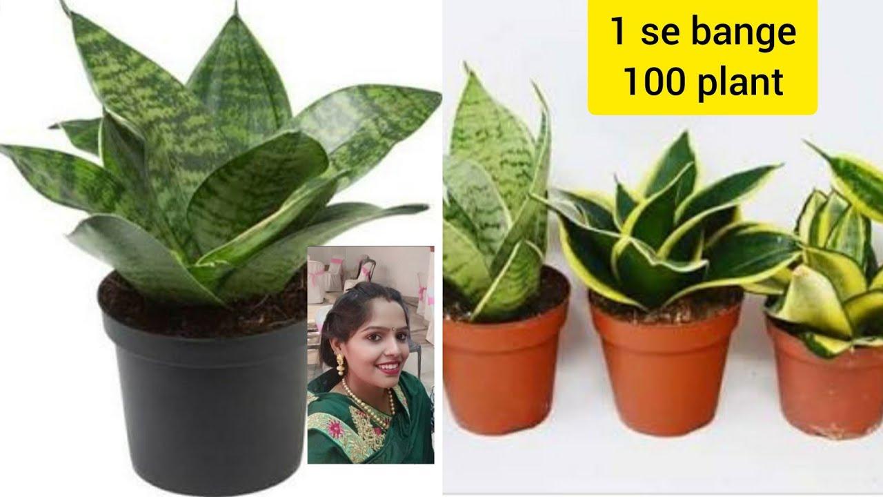 Kaise Ek snake plant ki cutting se banaye100 plant