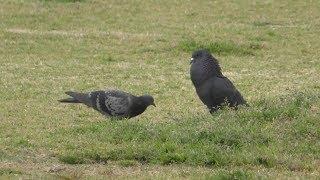 求愛#鳩#ハト 胸の辺りを膨らませて相手の鳩についてまわる鳩がいました。