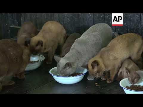 Burmese cats return as symbol of Myanmar