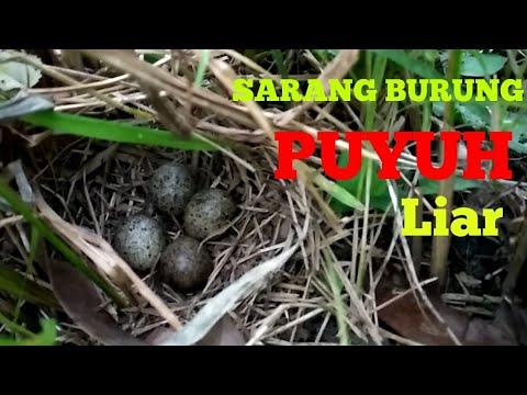 Ternyata Begini Sarang Burung Puyuh Liar Nest Of Wild Quail