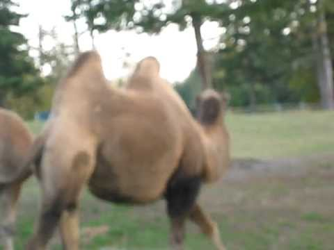 A Dromedary (One Hump) and a Bactrian (Two Humps) Camel