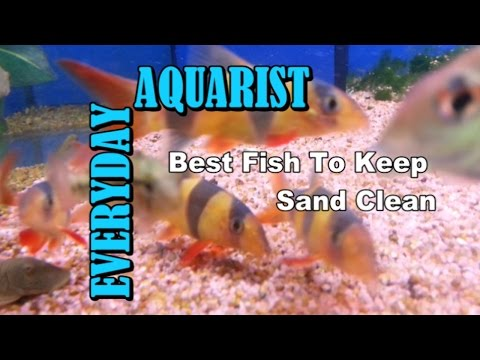 The top 10 most dangerous aquarium fish giant fangs p for Best way to clean a fish tank