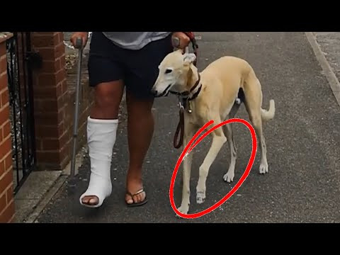 Dog Pretends To Walk With A Limp Like Their Injured Owner Out Of Sympathy