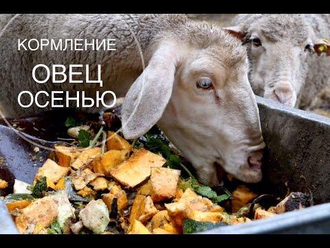 Кормление овец осенью.Чем мы кормим наших баранов