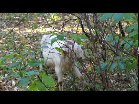 a Young and Small Nannygoat Grazing Leaves From a Big Bush in Autumn Forest in Slow Motion.