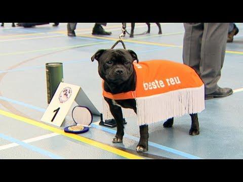 Staffordshire Bull Terrier Club NL Asperen