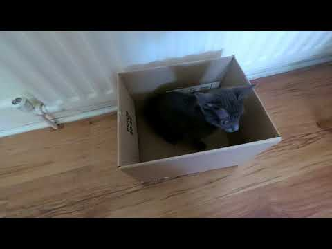 Korat Kittens playing in a box.