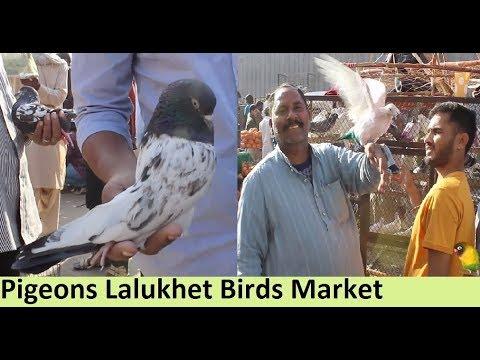 Pigeon Market Lalukhait Karachi Qabli Kabootar , Gola kabootar and