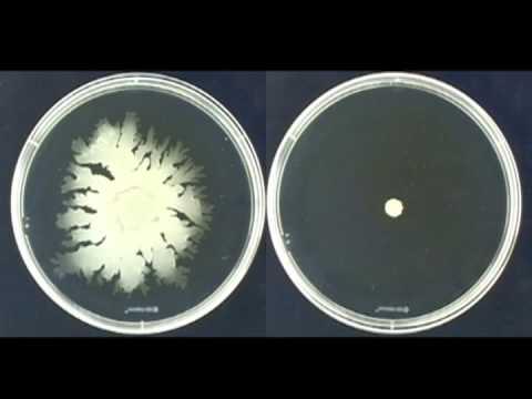 Colony spreading of Staphylococcus aureus